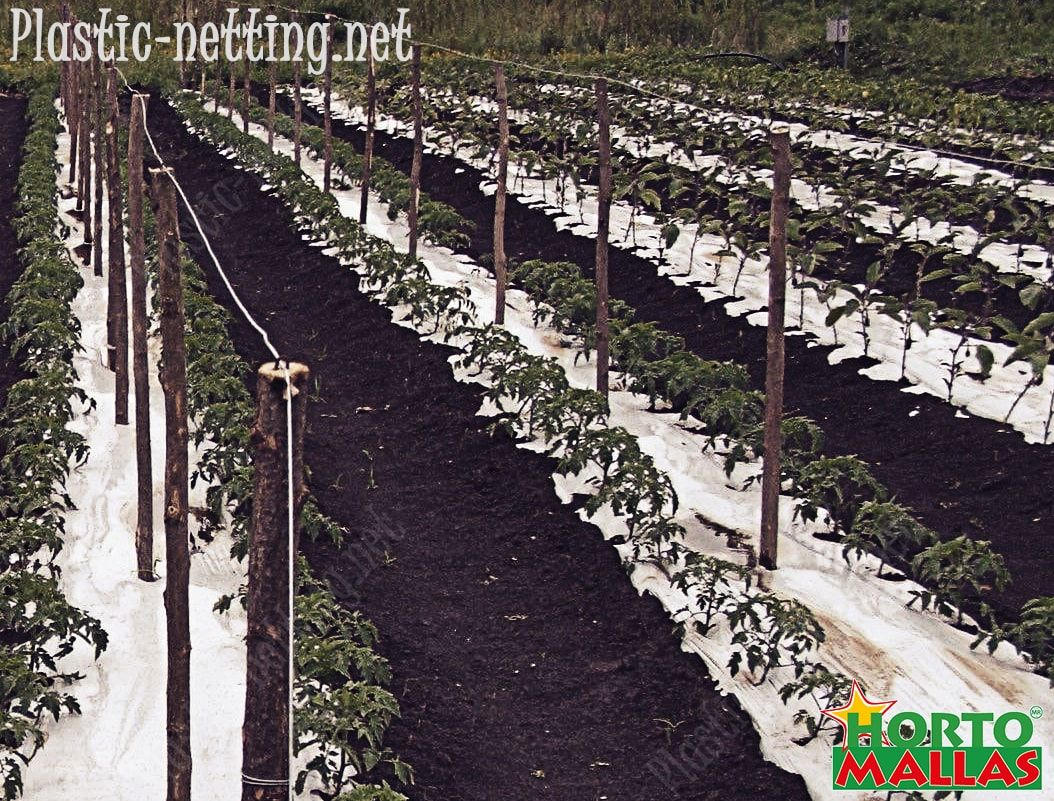 Support netting facilitates the pruning, therefore reduces mechanical stress in tomato plants.