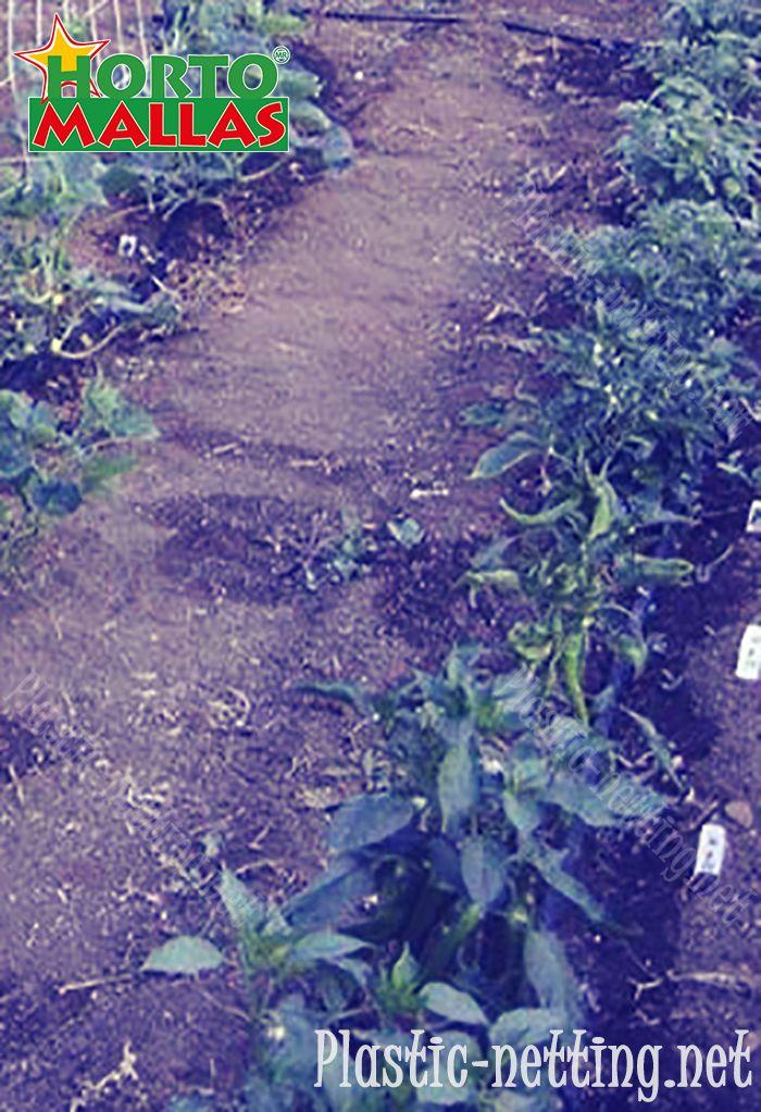 Trellising net installed in a cucumber field.