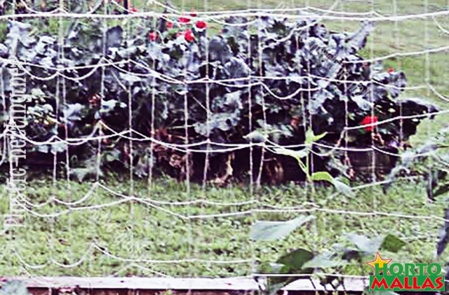 The plastic net HORTOMALLAS can also work on Floriculture